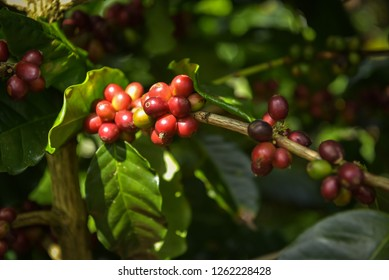 Close Up Coffee beans are ripe, harvested, branches of Arabica coffee plants in Nan province, Northern Thailand.