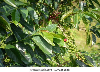 Close up of the coffee beans and trees at the coffee plantations in the highlands around Lake Toba. Sumatra, Indonesia