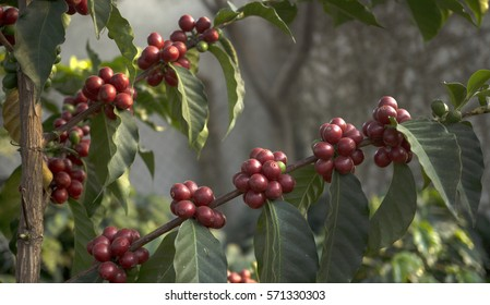 Close up of coffee branchs with read berries
