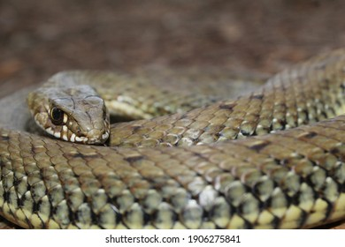 A close up to a coiled green snake where we can appreciate its scales and beautiful eyes.