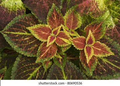 Close up to a Coleo (Coleus blumei or Painted Nettle) plant which has multicolored leaves. Scientific name: Solenostemon scutellarioides. Spanish: Cretona