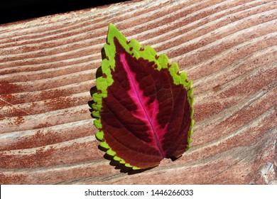 Close up of Coleus leaf on wood