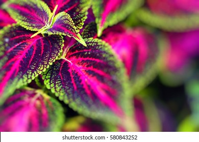 Close up of Coleus leaves (Painted nettle,Flame nettle )
