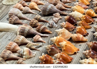 Close up of a collection of various size and types of sea shells found at ft myers beach florida, in sunshine on weathered boards.