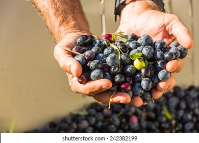 Close up color shot of a mans cupped hands full of multi colored olives at a olive harvest in Paso Robles, California