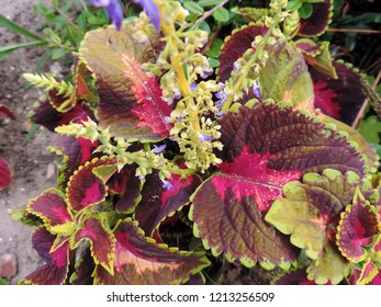 Close up of the colorful brown-pink green bordered leaves of one of the cultivars of Plectranthus scutellarioides, commonly known as coleus. Solenostemon, Coleus blumei. Poland, Europe