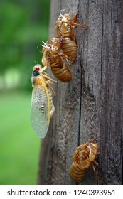 Close up of a colorful cicada and three shed cicada exoskeletons on a telephone pole