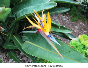 Close up of colorful exotic ornamental Bird of Paradise flower named for its resemblance to brightly colored head plumage of tropical birds. Classification is Strelitzia Genus in Plantae kingdom.