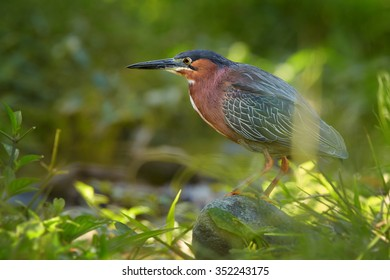 Close up colorful Green Heron Butorides virescens in tropical forest stream on  the rock looking for prey. Low angle shot, eye contact,green blurred background.
