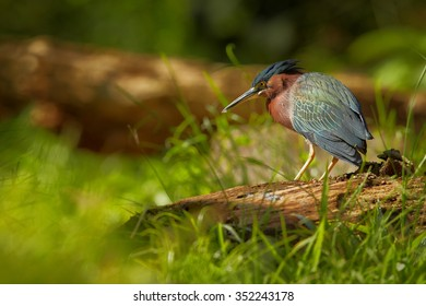Close up colorful Green Heron Butorides virescens in tropical forest stream standing on  old trunk lurking for prey. Low angle shot, green blurred background.