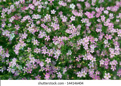 close up of colorful gypsophilia flower.
