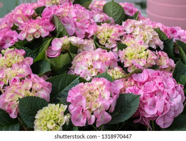 close up  of a colorful hydrangea in garden