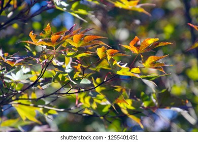 Close up of colorful Japanese maple leaves in the autumn sun