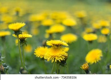 Close up of colorful little yellow star flower in the garden, Melampodium divaricatum