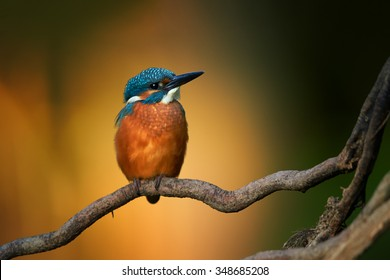 Close up colorful orange and blue Common Kingfisher  Alcedo atthis perched on twisted root,isolated on blurry orange  background. Golden ratio composition. Lit by late evening sun. Calm atmosphere.