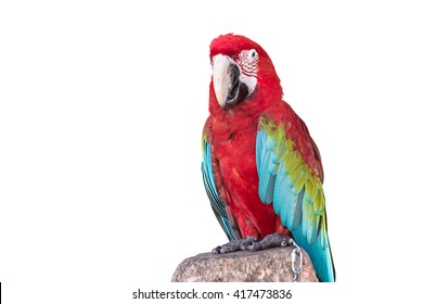 Close up colorful  parrot macaw isolated on white background