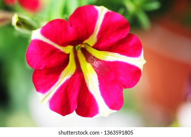 close up colorful petunia flower