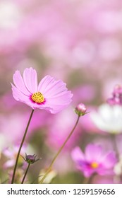 close up colorful pink cosmos flowers blooming in the field on sunny day