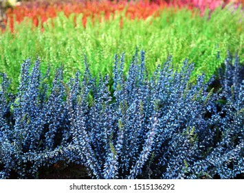Close up of colorful plants Calluna vulgaris, or Common Heater- It is a low-growing perennial shrub related genus Erica.