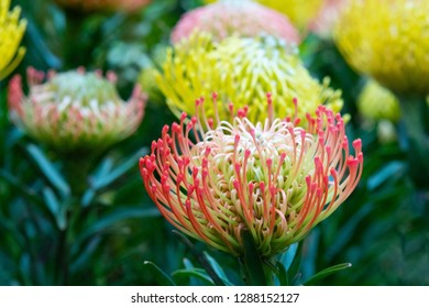 Close Up of Colorful Protea Pincushion Flowers in a Tropical Garden