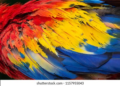 A close up of the colorful red, yellow, and blue feathers of a scarlet macaw (Ara macao) parrot, famous across Central America and South America, and the national bird of Honduras, Latin America.