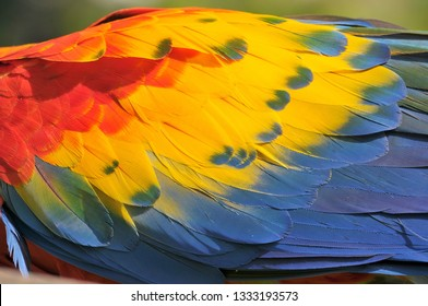 Close up of colorful Scarlet Macaw (Ara macao) a large red, yellow, and blue South American parrot, Guatemala.