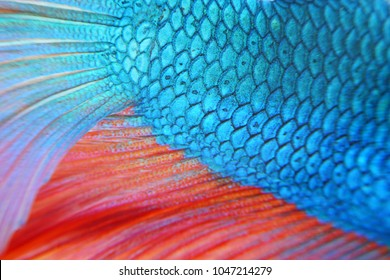 Close up of colorful siamese fighting fish with full background
