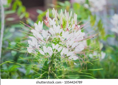 White spider flowers stock images royalty free images vectors close up colorful of spider flowers in the park white spider flowercleome hassleriana mightylinksfo