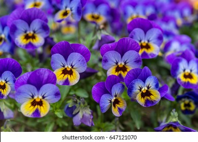 Close up of colorful violet viola flower in garden, spring Italy.