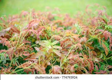close up of colorful young wisteria vine leaves