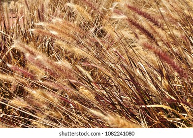 Close up coloured reeds, macro shot for background, texture use. Dry close up brushes feather grass. Fluffy beige reed