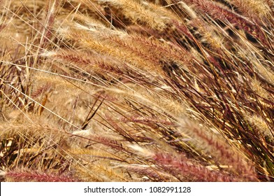 Close up coloured reeds, macro shot for background, texture use. Fluffy beige reed