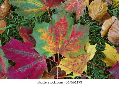 Close up of colourful fallen autumn leaves in a woodland garden