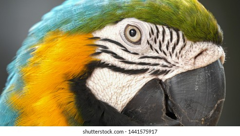 Close up of colourful scarlet macaw parrot.