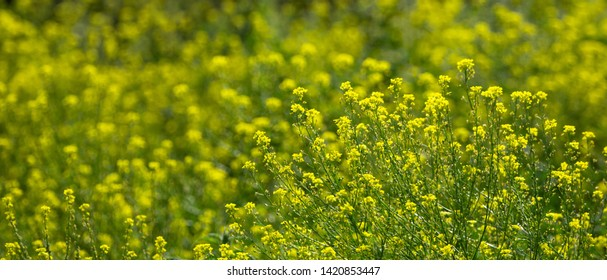 Close up of colza yellow flowers with blurry background. Summer sunny day. Copy space. Yellow background.