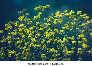Close up of colza yellow flowers with blurry background. Summer sunny day. Copy space. Blue background.