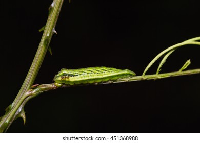 Close up of Common Acacia Blue (Surendra quercetorum) caterpillar on its host plant stem in nature