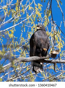 Close up of a Common Blackhawk in a cottonwood tree.