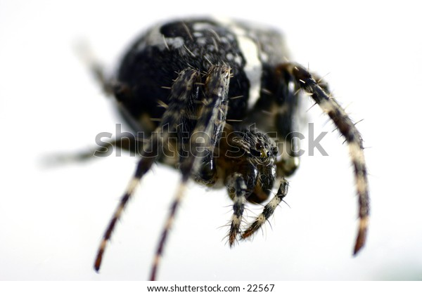 Close up of common british garden spider.
