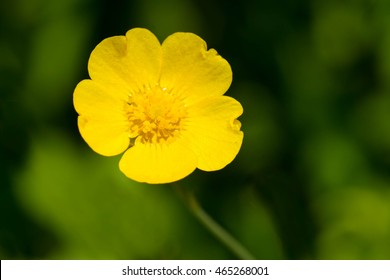 Close up of a Common Buttercup flower. Also known as a Common, Giant, and Tall Buttercup. Don Valley Brickworks Park, Toronto, Ontario, Canada.