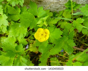 Close up of a Common Buttercup yellow flowers on green grass background. Ranunculus acris (meadow buttercup, tall buttercup, giant buttercup). Belarus, Grodno gardens.