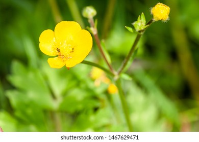 Close up of a Common Buttercup yellow flowers on green grass background. Ranunculus acris meadow buttercup, tall buttercup, giant buttercup . Belarus, Grodno gardens.