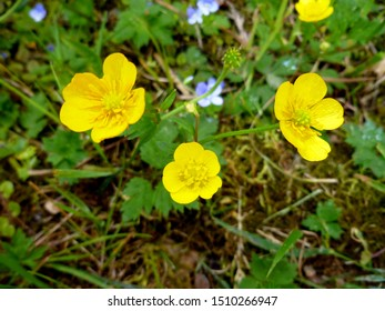Close up of a Common Buttercup yellow flowers on green grass background. Ranunculus acris (meadow buttercup, tall buttercup, giant buttercup). Selective focus, blurred background.