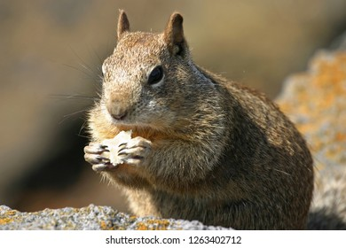 Close up of a common California ground squirrel sitting on some rocks to eat