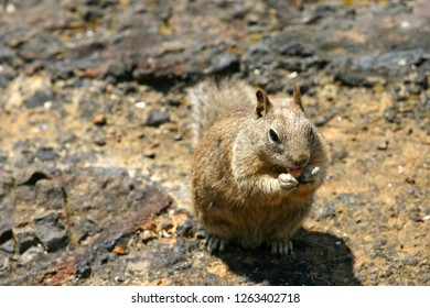 Close up of a common California ground squirrel camouflaged by its habitat as it sits on some volcanic rocks to eat