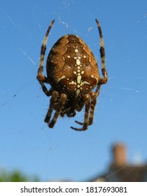 Close up of a common garden spider on a web