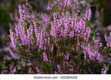 Close up of Common Heather / Ling / Scotch Heather ( Calluna vulgaris ) flowering on a moor in the Scottish Highlands during the summer