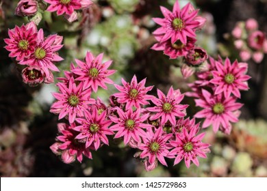 close up of common Houseleek (Sempervivum tectorum) flower, also known as Hens and Chicks, blooming during spring