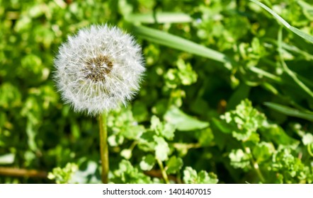 close up of a common isolated white dandelion (in latin taraxacum officinale) on a green grass background. The dandelion seed is at the head just before being blown by the wind. Horizontal photo
