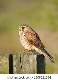 Close up of a common kestrel (Falco tinnunculus) perched on a wooden post against colorful background, UK